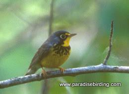 Photo: Canada Warbler, Lesser Slave Lake Provincial Park, northern Alberta