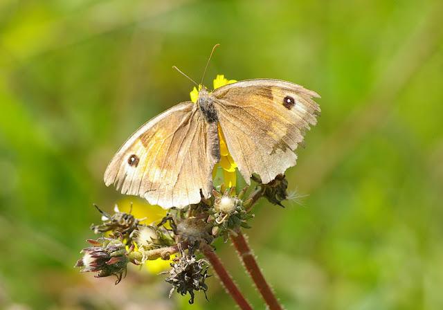 Manolia jurtina L., 1758, femelle. Les Hautes-Lisières (Rouvres, 28), 2 septembre 2011. Photo : J.-M. Gayman