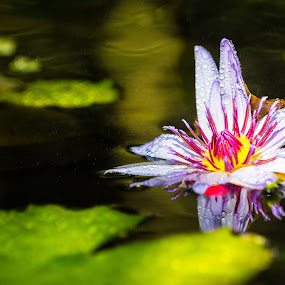 Floating Lilies at the Calgary Zoo by David Kotsibie - Flowers Single Flower ( water, orchid, purple, lily, lilies, floating, flowers, flower )