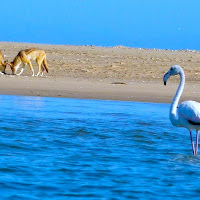Flamingo and Jackals seen while Kayaking off Pelican Point
