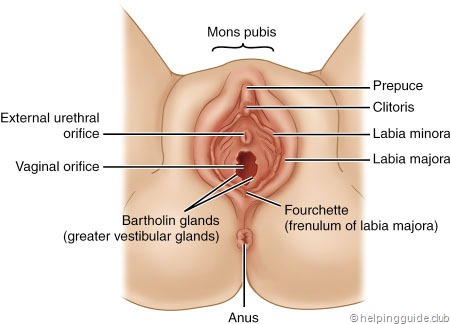 What comprises reproductive system of a female human being ...
