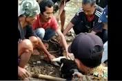 Viral, Tukang Jagal Tewas di Atas Hewan Kurban Domba yang Akan Disembelih