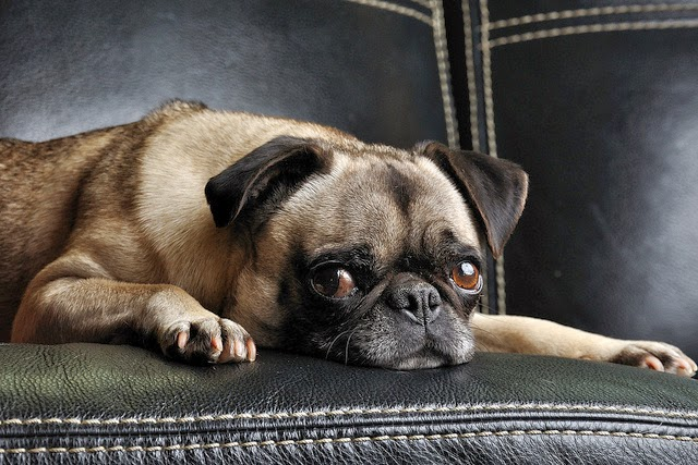 Pugs require least exercise breeds of dog