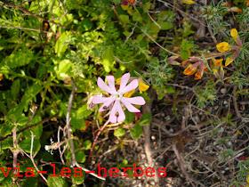 Silene soyeux Silene sericea.jpg