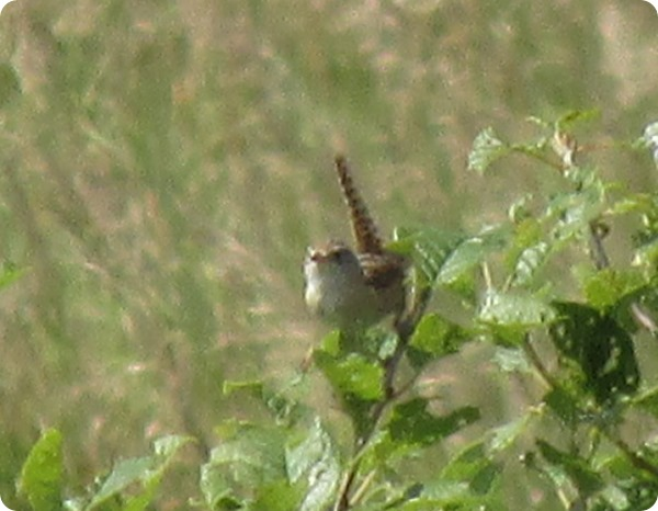 IMG_7871 Sedge Wren Bird (1)