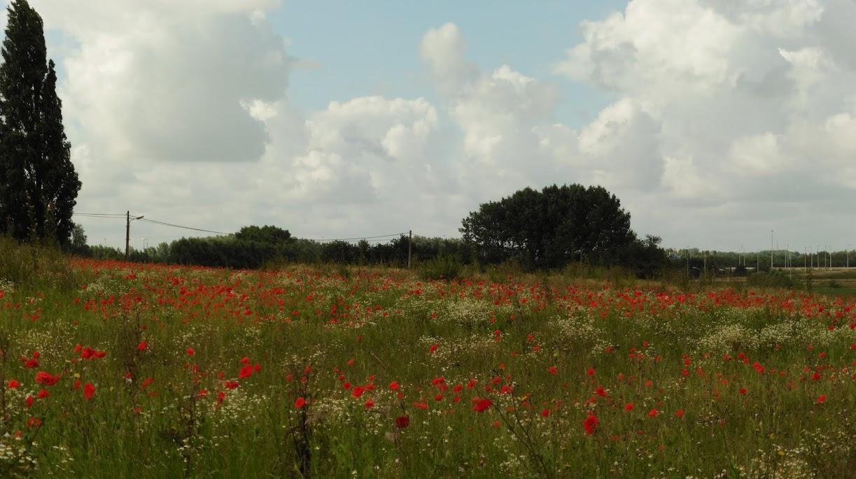 een veld klaprozen