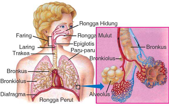 Bagian-bagian sistem pernapasan manusia