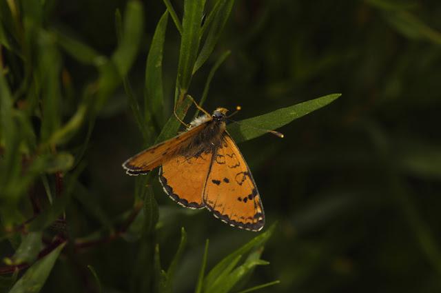 Melitaea ala ala STAUDINGER, 1881 (1900 m). Kekemeren, 30 juin 2006. Photo : B. Lalanne-Cassou