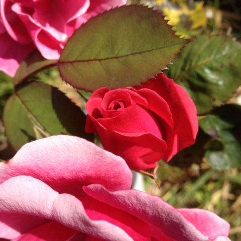 Roses-Red-Pink