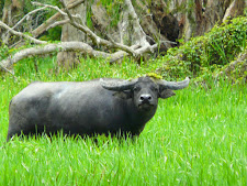 wildlife-water-buffalo-8.jpg