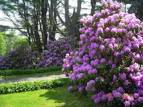 Photo: Rhododendrons