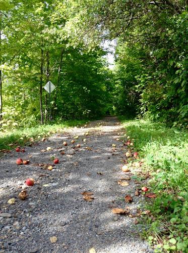 Wild apple wind falls on The trans-Canada trail near Keswick, New Brunswick