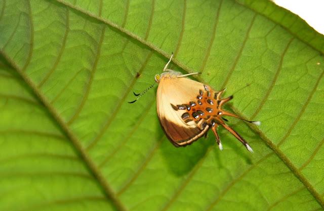 Helicopis cupido LINNAEUS, 1758. Rivière Comté (Guyane). 24 novembre 2011. Photo : M. Belloin