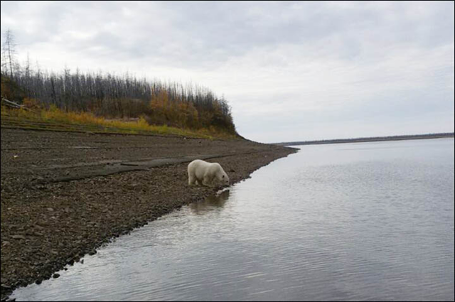 A polar bear, nicknamed 'Umka', on the banks of the Kolyma River in Siberia, almost 700 kilometres south of the normal habitat for these animals, 22 September 2017. Photo: Ministry of Nature Protection of Yakutia