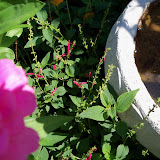 Gardening 2011 - 100_9117.JPG