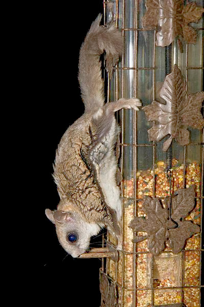Flying Squirrel on feeder