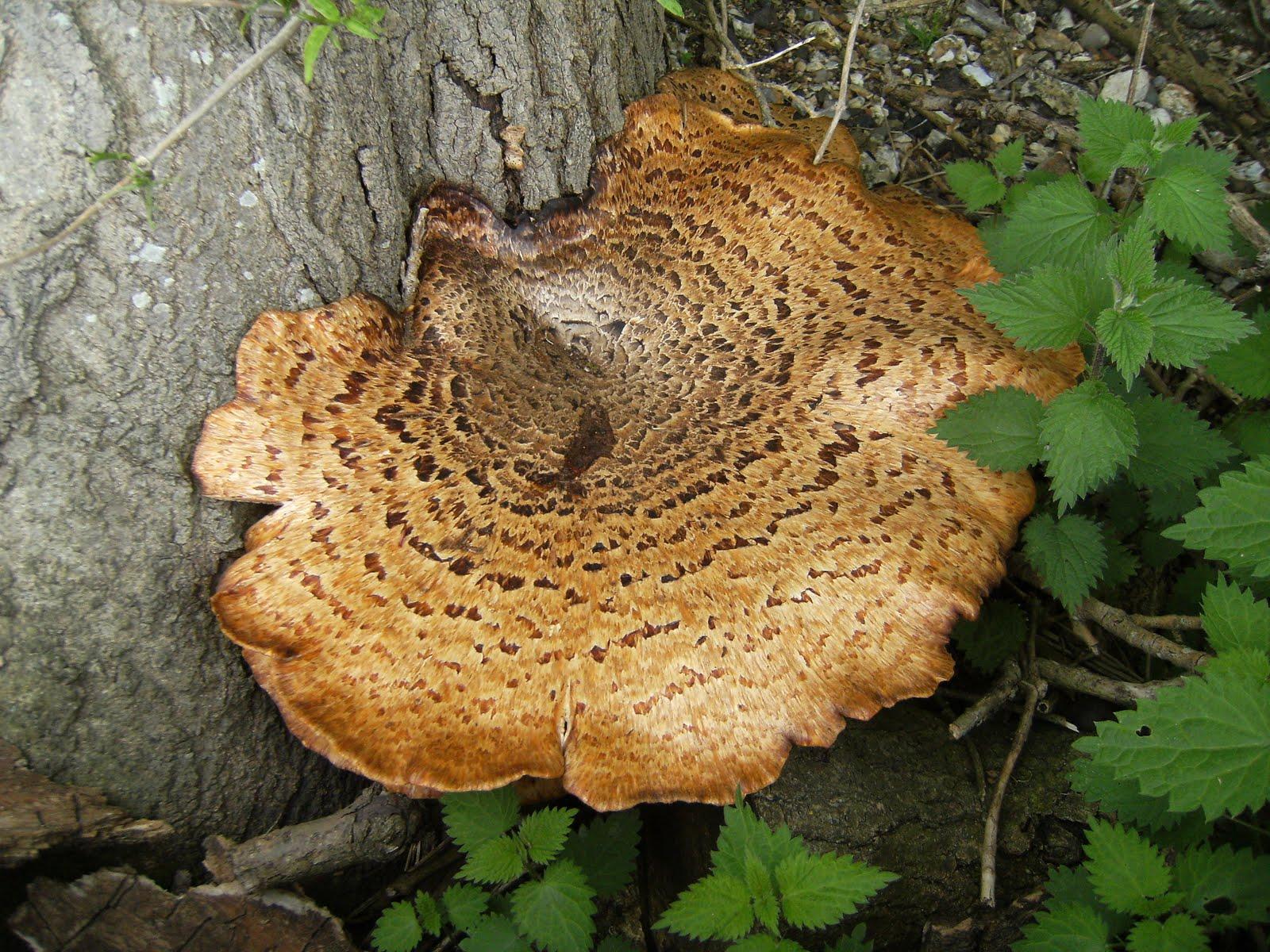 1005150001 Giant fungus in Latimer Park