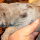 available merle female