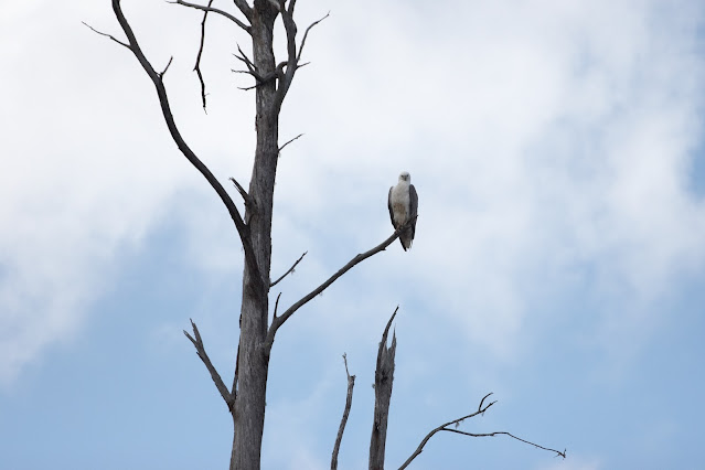 A sea eagle watches as we cruise the Pieman river back to Corinna