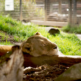 lioness by Aimee Osborne - Animals Lions, Tigers & Big Cats ( lioness, peace, sleeping, pretty, photography )