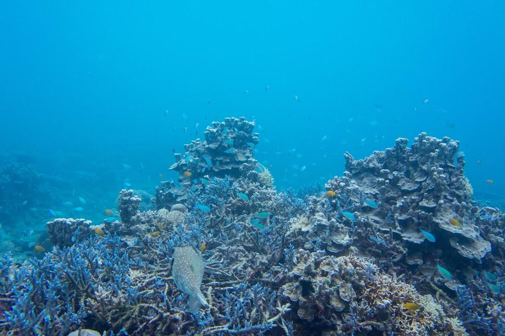 blue coral ishigaki