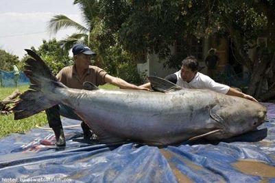 CH 18_ Cá Pla Beuk trên dòng Mekong
