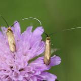 Adelidae : Nemophora metallica (PODA, 1761). Les Hautes-Lisières (Rouvres, 28), 7 juillet 2012. Photo : J.-M. Gayman