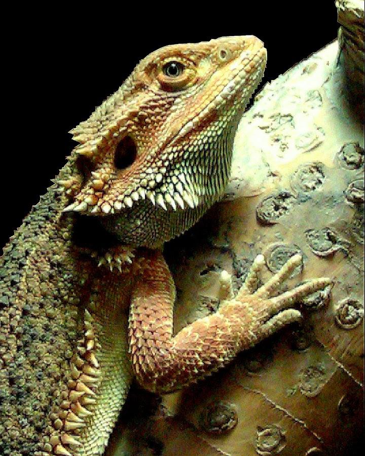 by Ralph Harvey - Animals Reptiles ( wildlife )