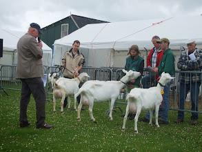 Photo: Klasse 3: 2 en 3 jarige witte geiten.  1a. Marijke 189 (3 jaar); 2a. Miep 16 vd Heuvel (3 jaar); 2b. Miep 17 vd Heuvel ( 2 jaar).