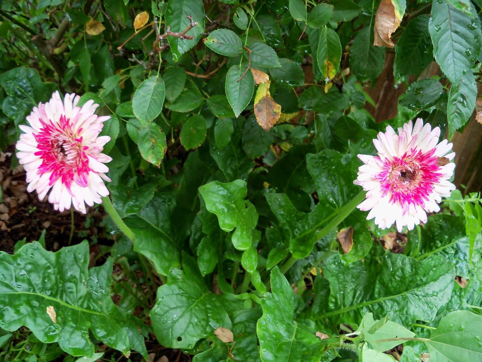 Gardening 2014 - 116_2605.JPG