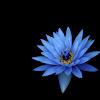 blue_flower_hd1080p.png