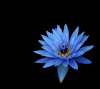 blue_flower_hd1080p.png