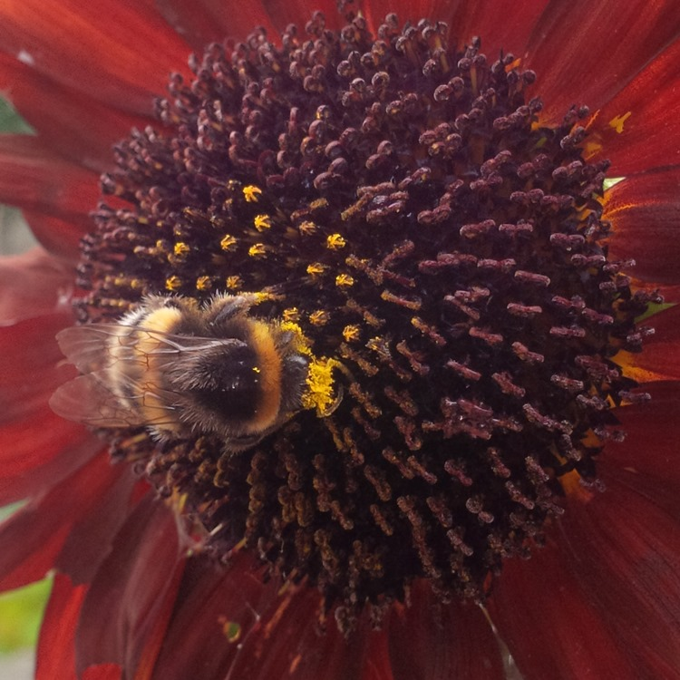 red sunflower and bee