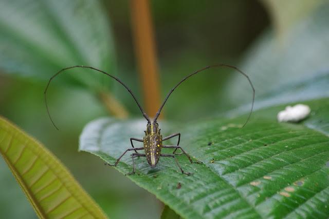 Cerambycidae : Lamiinae : Taeniotes farinosus (LINNAEUS, 1758). Tunda Loma à Calderon (San Lorenzo, Esmeraldas), 28 novembre 2013. Photo : J.-M. Gayman