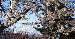 会場から桜越しの富士山