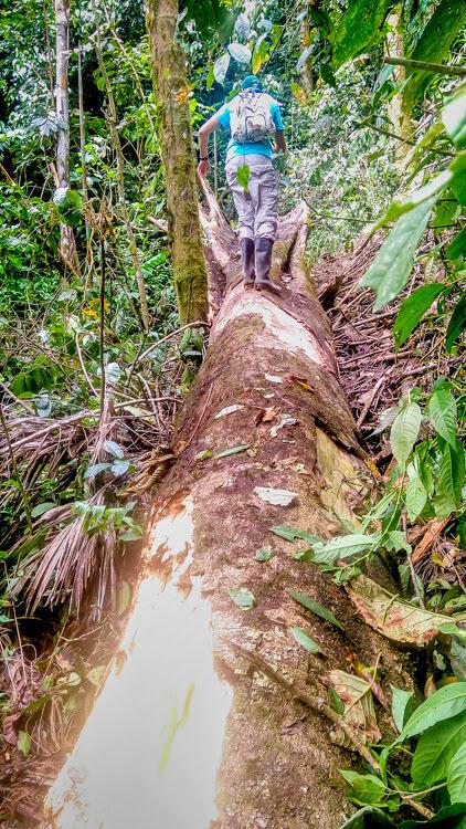 Amazon forest in Peru.jpg