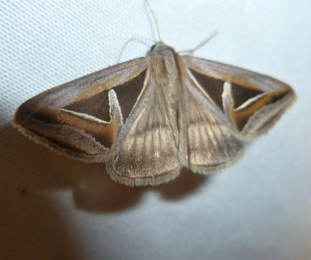 Erebinae : Trigonodes exportata GUÉNÉE, 1852. Mananara Lodge, Anjozorobe (Madagascar), 5 janvier 2014. Photo : J. Marquet