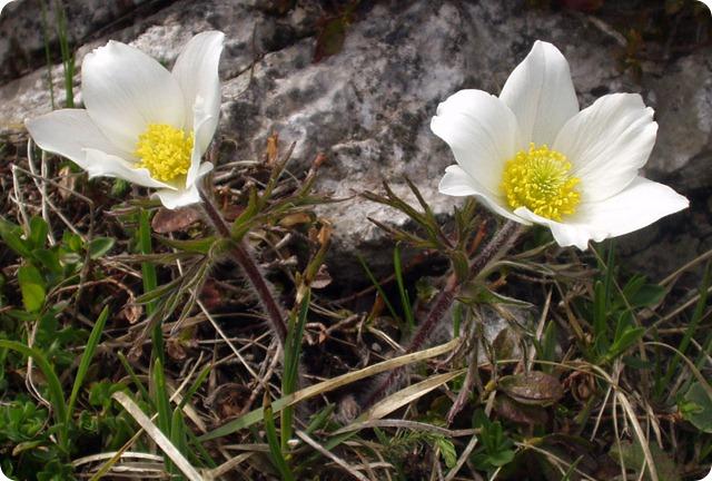 Flora-alpina-Pulsatilla_alpina_schneebergensis