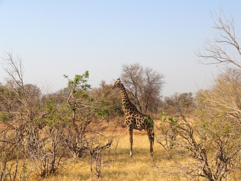 A giraffe in Moremi