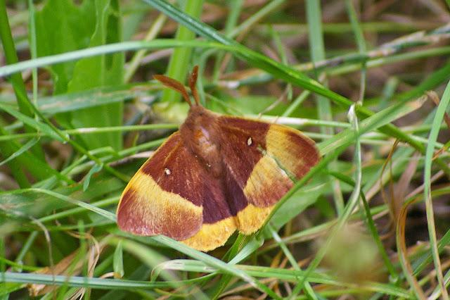 Lasiocampidae : Lasiocampa quercus (LINNAEUS, 1758), mâle. Hautes-Lisières (Rouvres, 28), 26 juillet 2010. Photo : J.-M. Gayman