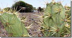 17jun2013-2013-pastagem-seca-e-carcacas-de-animais-tornaram-se-paisagem-no-municipio-de-conde-no-litoral-norte-da-bahia-a-regiao-nordeste-brasileira-enfrenta-a-pior-seca-nos-ultimos-50-anos-segundo-137148162