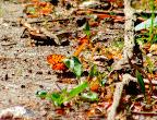 Rødlig perlemorssommerfugl, Lorup skov, dokumentationsfoto