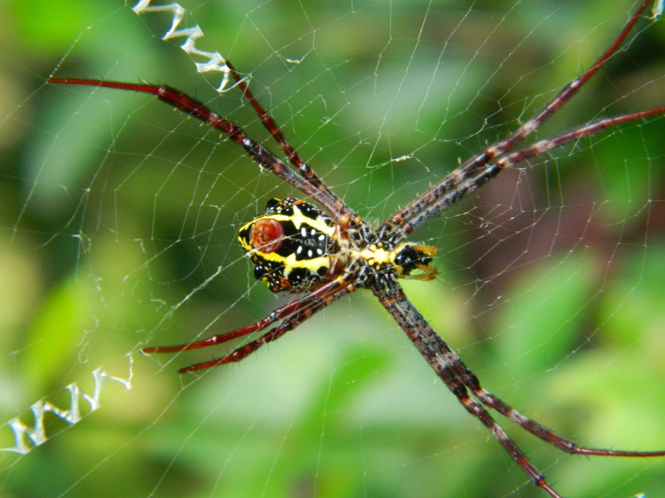 Thai Spider / In Search of Beauty