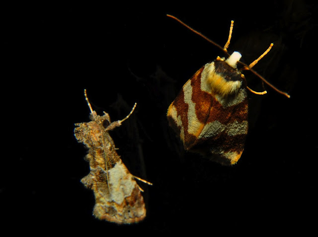 À droite : Arctiidae : Lithosiinae : Termessa gratiosa WALKER, [1865]. À gauche : Noctuidae. Umina Beach (NSW, Australie), 18 octobre 2011. Photo : Barbara Kedzierski