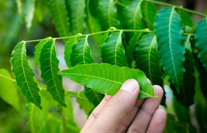Neem leaves benefits for hair:How Neem is useful for hair?