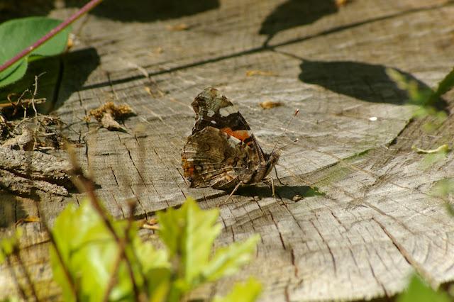 Vanessa atalanta LINNAEUS, 1758, en forêt. Les Hautes-Lisières,  8 mai 2009. Les Hautes-Lisières. Photo : J.-M. Gayman