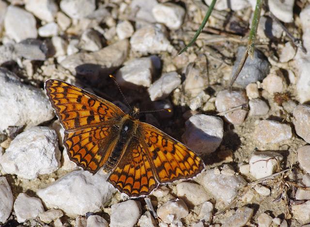 Cinclidia phoebe (Denis & Schiffermüller, 1775), mâle. Les Hautes-Courennes. Saint-Martin-de-Castillon (Vaucluse), 17 juin 2015. Photo : J.-M. Gayman