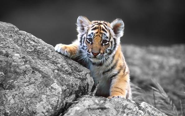 Cute tiger baby 1920x1200