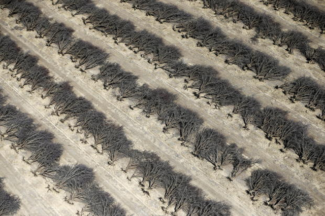 A field of dead almond trees is seen in Coalinga in the Central Valley, California, 6 May 2015. Photo: Lucy Nicholson / Reuters