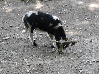 2017.08.06-030 mouton de Jacob